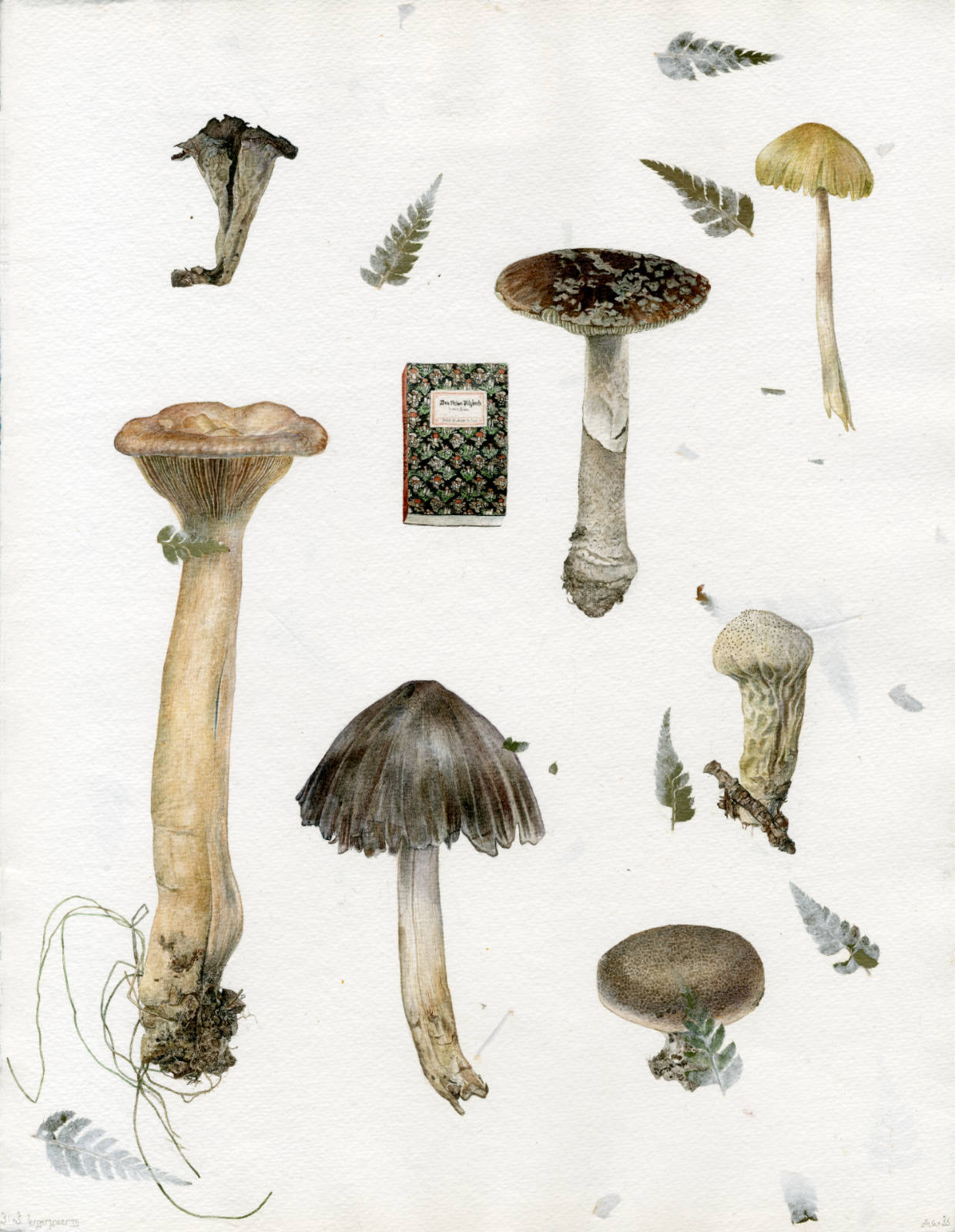 Watercolour study of various mushrooms such as craterellus cornucopioides, (vulgar black chanterelle) lactarius (vulgar milk-caps) amanita mascara (vulgar fly agaric) lycoperdon perlatum (vulgar puffball) and two unidentified others