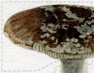 """Étude de champignons"", an original watercolour painting by messalyn (thumbnail)"